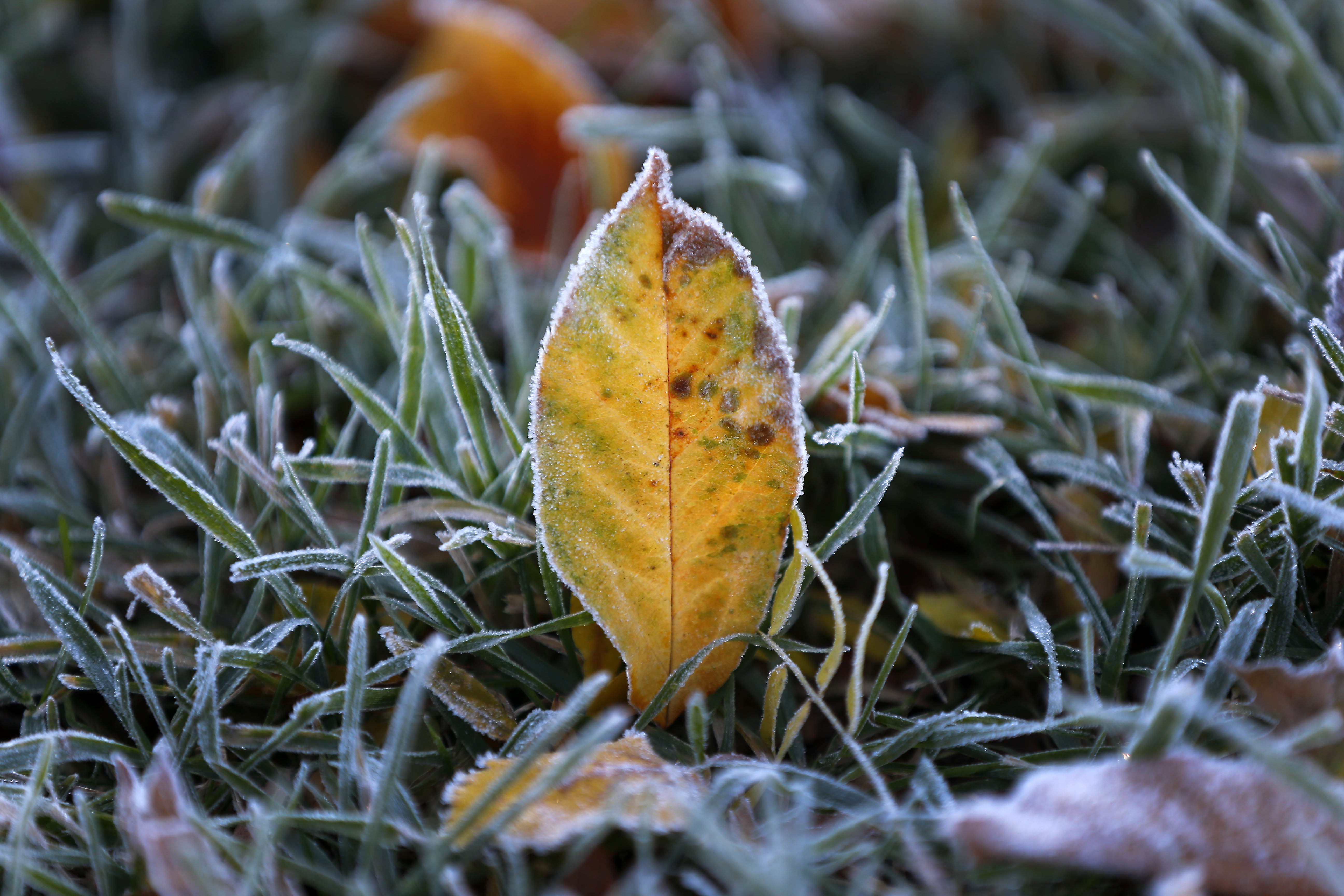 Frost covers the leaves and grass in a yard in Orchard Park. (Mark Mulville/Buffalo News)