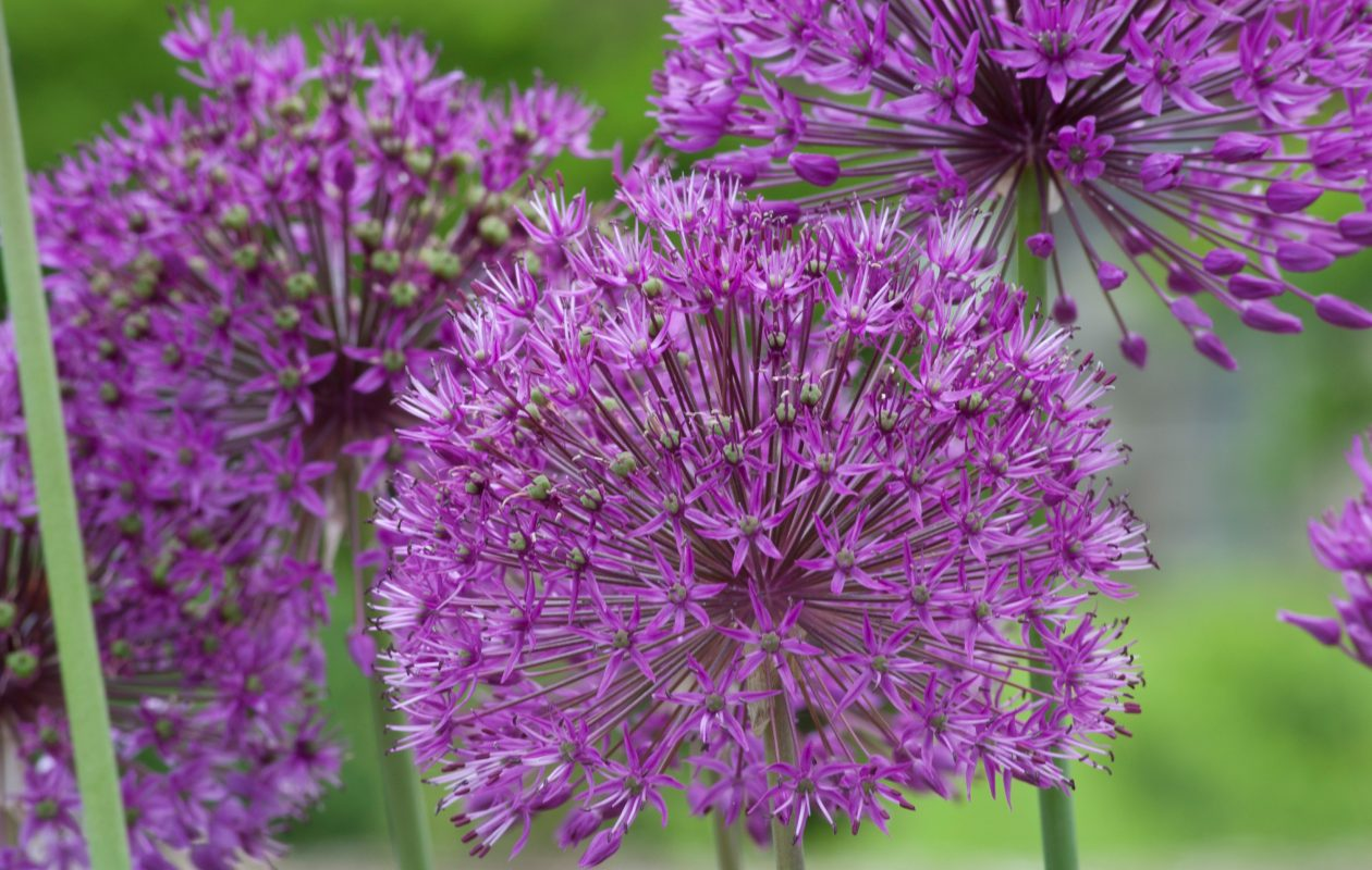 Now is the time to look for 'holes' in the garden where new plants can go. It's also the time to see if any plants are crowding others and should be moved. Alliums need room to spread so come fall, plant the bulbs in the right place. Allium 'Purple Sensation' photo courtesy Colorblends.