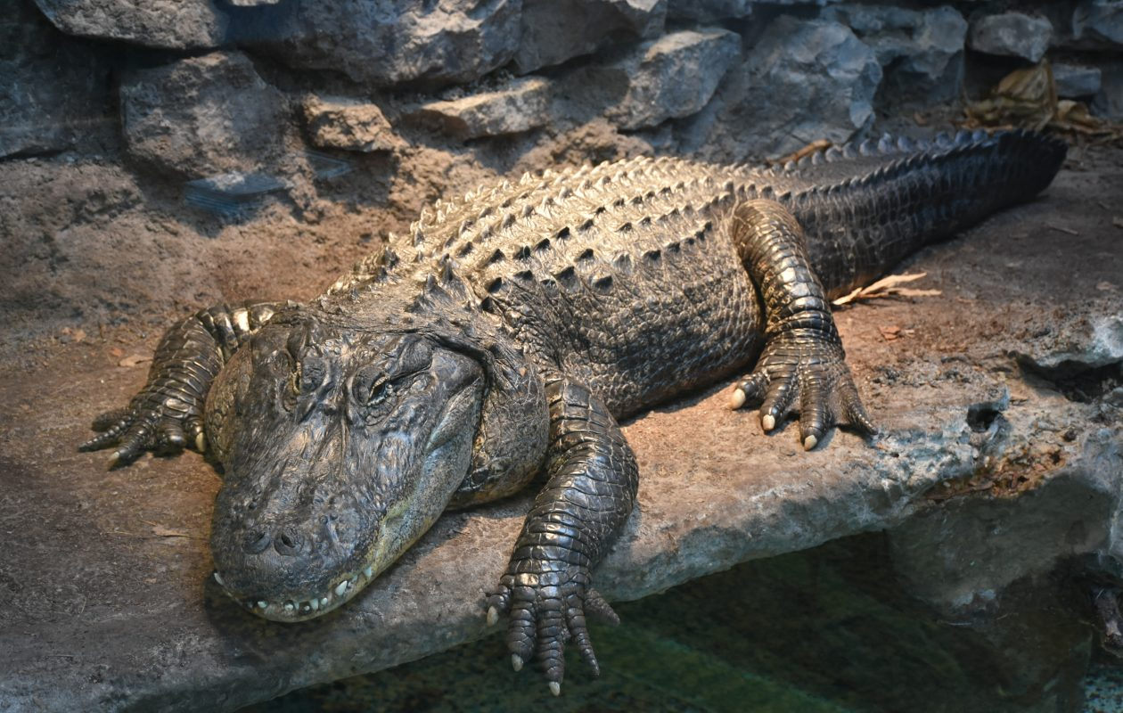 Guzman, the Buffalo Zoo's 16-year-old American alligator, is moving to Florida next week. Photo courtesy of The Buffalo Zoo.
