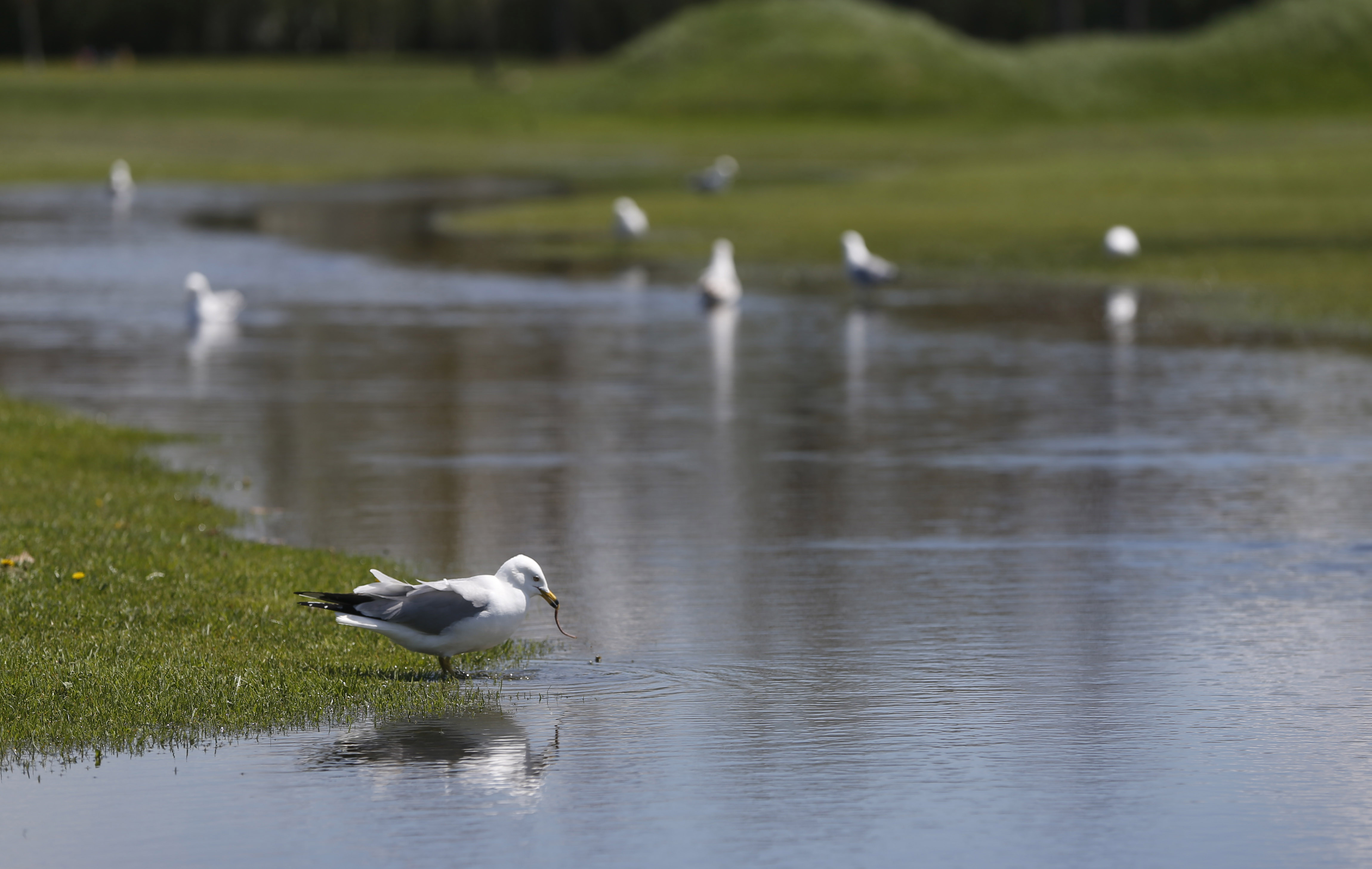 Flooding on the Grover Cleveland Golf Course in May. Cash went missing from the golf course last year. (Sharon Cantillon/Buffalo News)