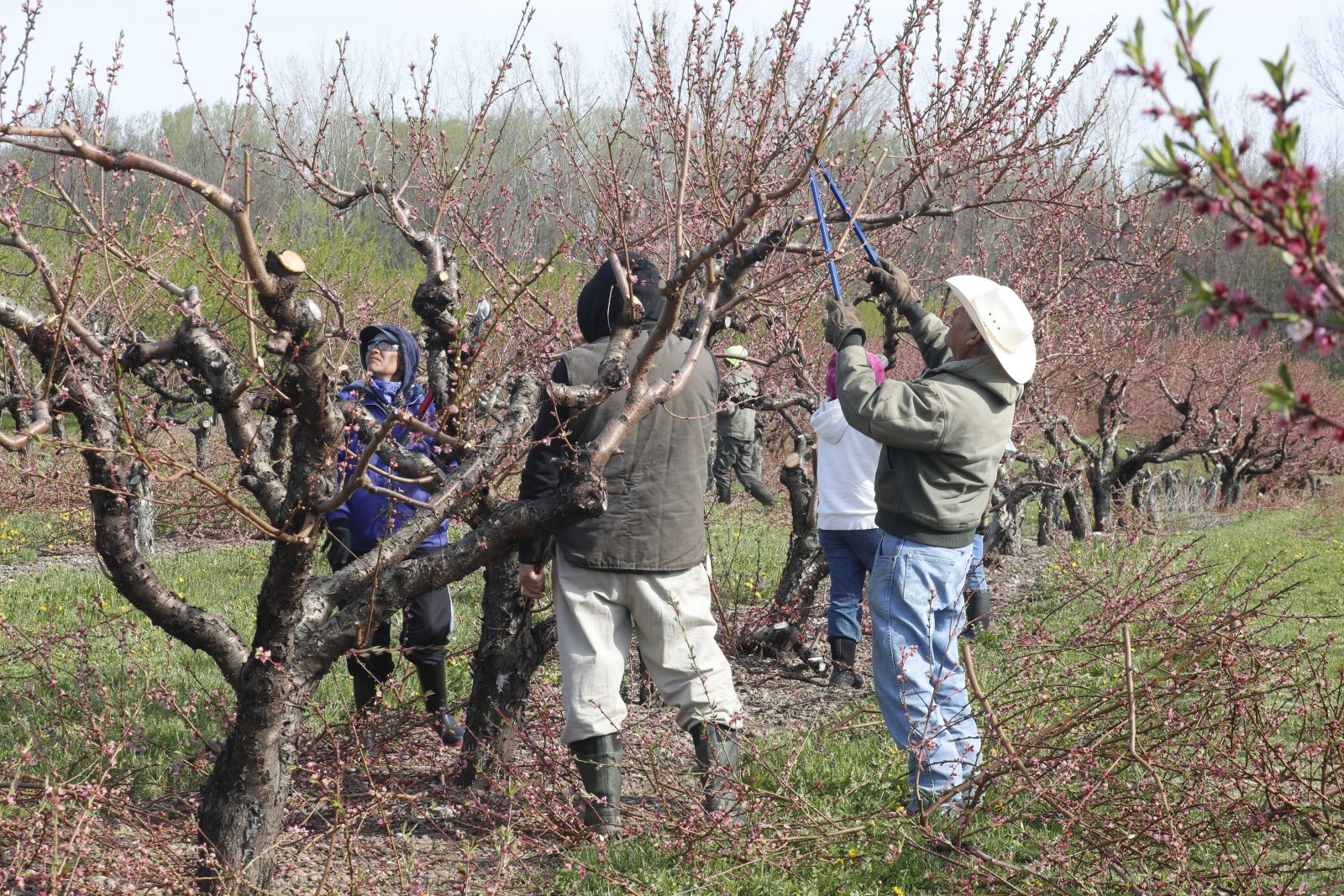 Upstate agriculture, including Bittner-Singer Orchards in Appleton,  relies on immigrant labor. (John Hickey/Buffalo News)