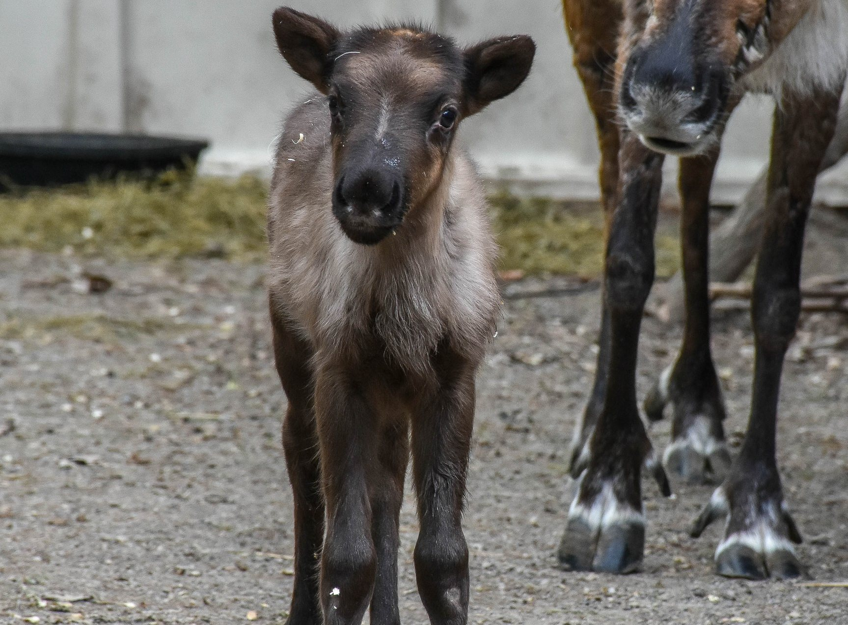 This baby male Scandinavian reindeer was born April 18, 2017 at the Buffalo Zoo. The zoo will be holding a baby-naming contest. The four name choices are: Pulsar, Yukon, Thor and Max. (Photo provided by the Buffalo Zoo)