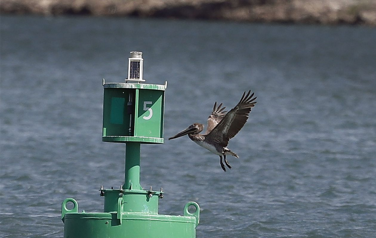 A brown pelican is continuing to be spotted off Riverwalk near the Ontario Street boat launch. resting on a buoy between Ontario Street Boat Launch and Briggs Ave. The Brown Pelican has been working the River between Rich's Marina and the power plant in Buffalo, N.Y.  on Wednesday May 31, 2017.  (John Hickey/Buffalo News)