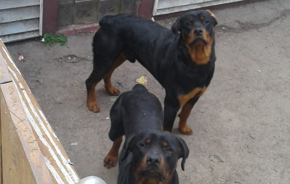 Two Rottweilers in the driveway of 228 70th St., Niagara Falls on June 8, 2017, where the dogs attacked a 7-year-old boy. (Thomas J. Prohaska/Buffalo News)