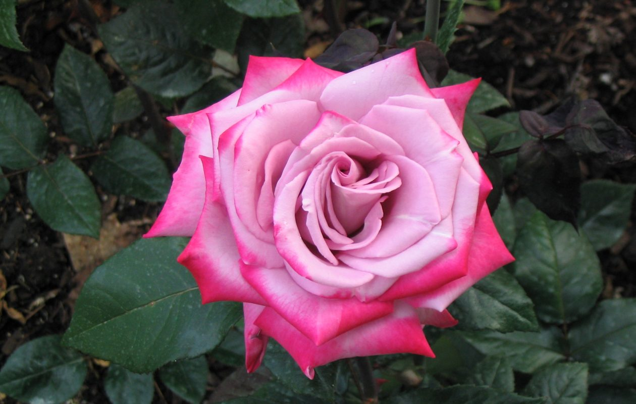 The Western New York Rose Society will present its annual rose show June 17 at Walden Galleria.