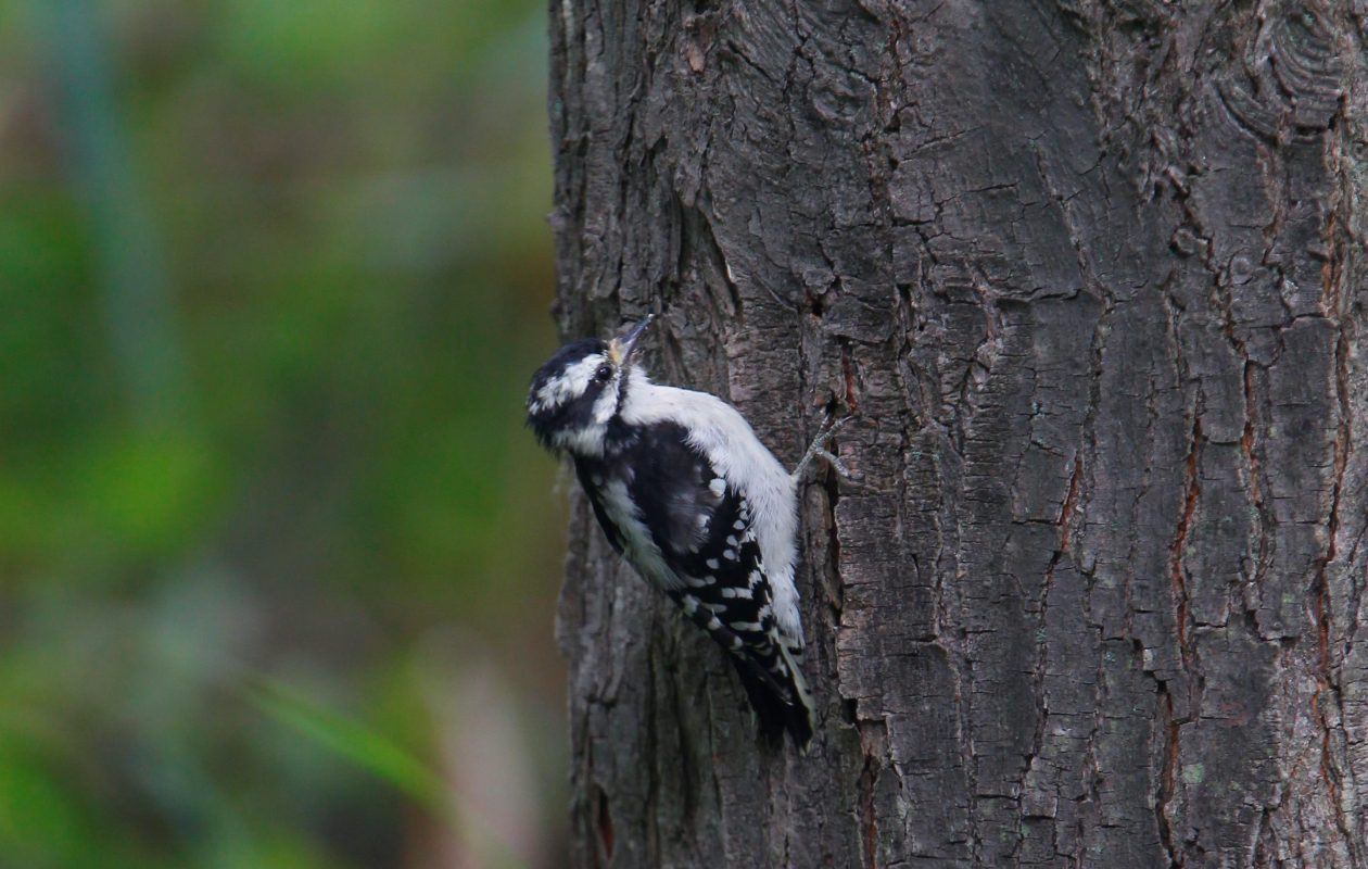 A Downey Woodpecker at the Great Baehre Swamp in Amherst. (John Hickey/Buffalo News file photo)