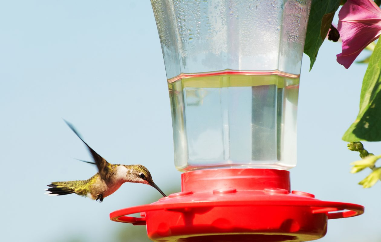 A hummingbird enjoys nectar at feeder.