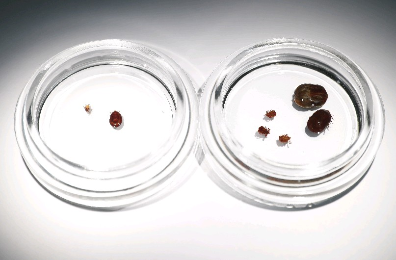 Deer ticks, left, and dog ticks, right, could enjoy a banner year across Buffalo Niagara thanks to a warm winter and wet spring. Public health officials say outdoors enthusiasts should stay vigilant to protect against infection this summer. (Mark Mulville/Buffalo News)