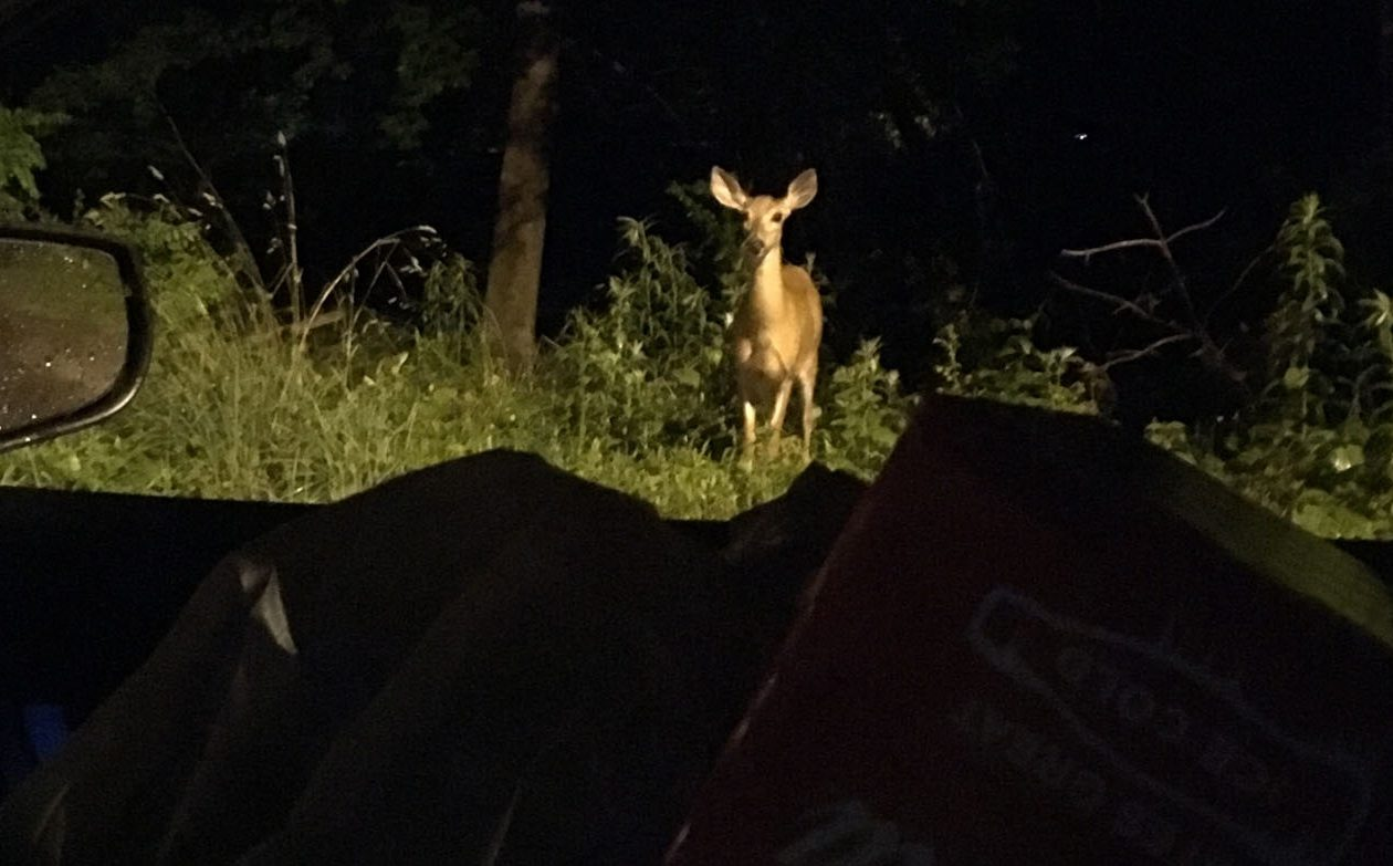 An iPhone image of a deer, along the road: Changing the way we relate to the spontaneous. (Sean Kirst/Buffalo News)