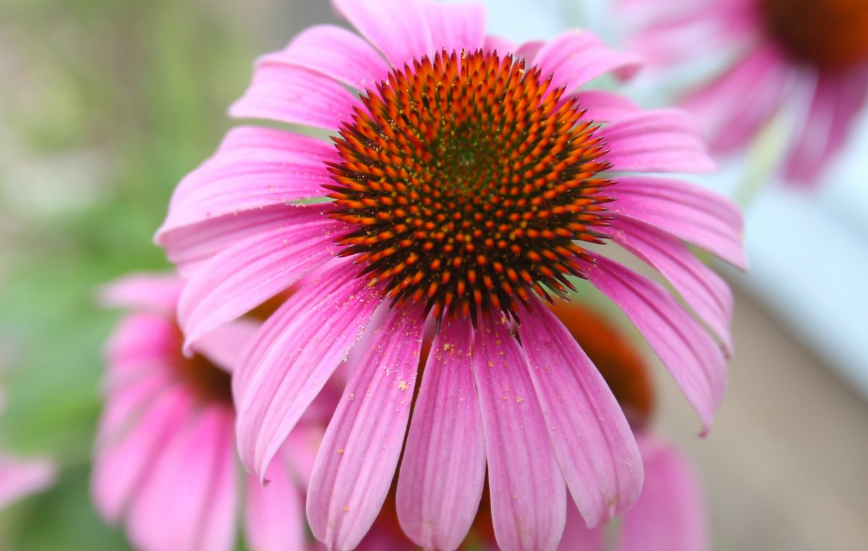 A coneflower in bloom,  one of the many popular flowering plants people will admire on Garden Walk Buffalo.  (John Hickey/Buffalo News file photo)