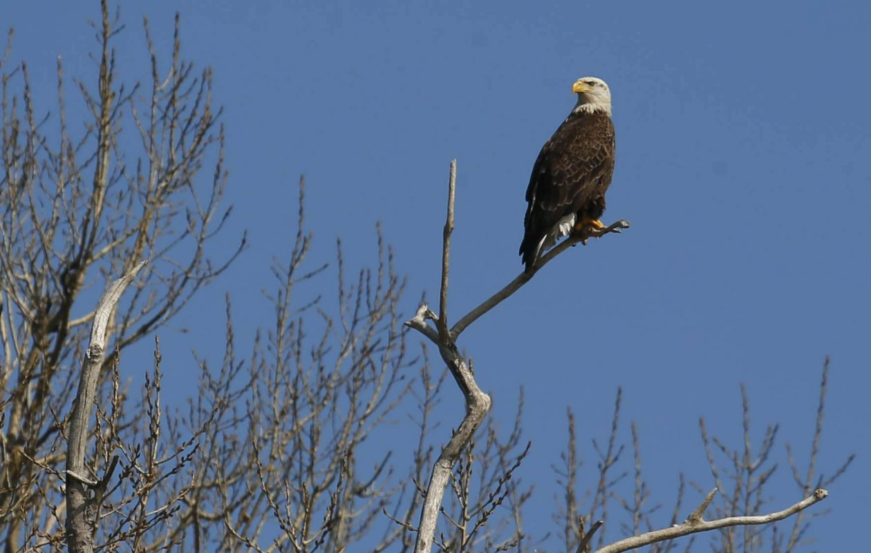 """""""Anyone that wants to see a bald eagle in Western New York doesn't have to travel far to see one,"""" said Jay Burney, the chair of the Times Beach Nature Preserve. (Derek Gee/Buffalo News file photo)"""