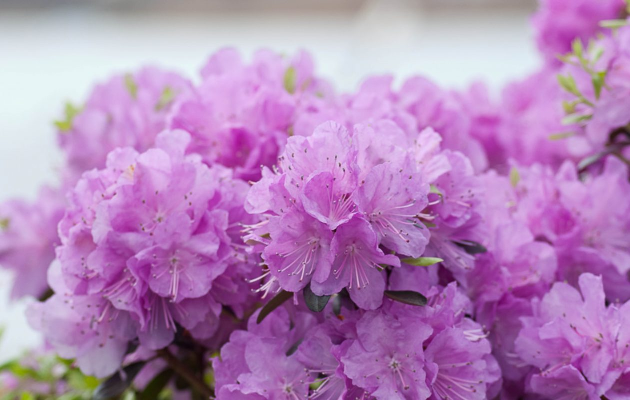 A rhododendron requires  well-drained, acidic soil, and partial shade.  (Courtesy Proven Winners)