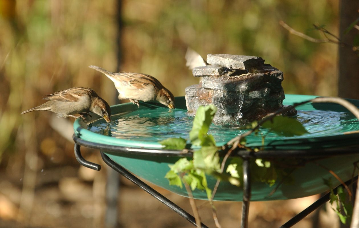 Two sparrows drink out of a heated bird bath on a pedestal outdoors at Wild Birds Unlimited in Blasdell in 2001. (Sharon Cantillon/Buffalo News)