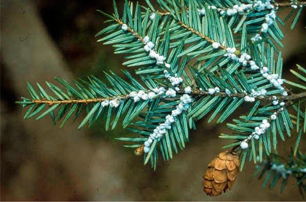 A Hemlock Woolly Adelgid cluster. (U.S. Forest Service)