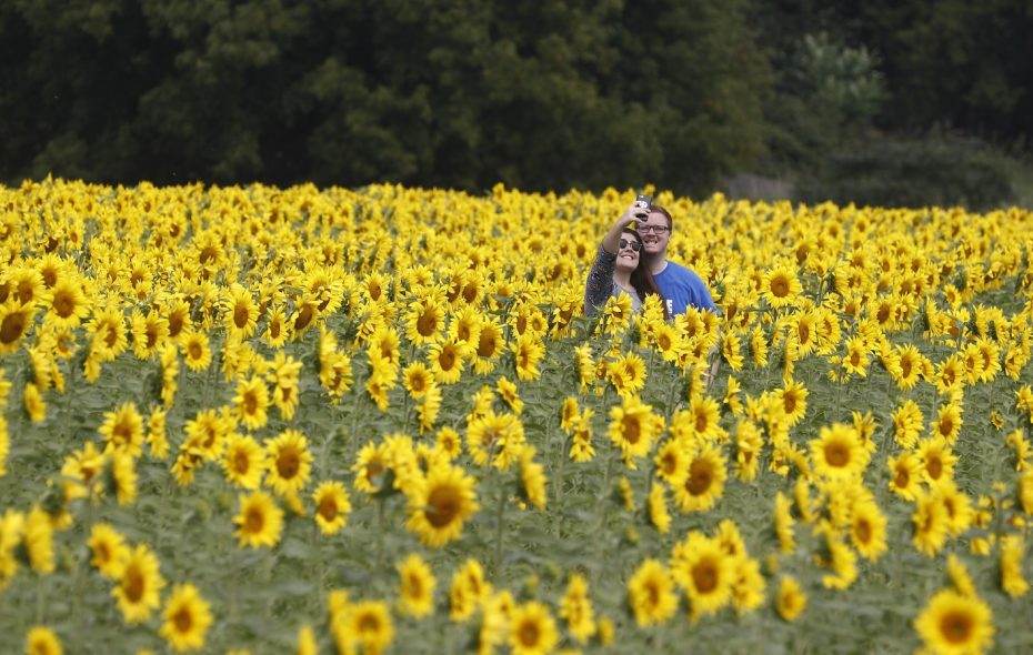 Gianna Aloisio and Collin Kowalski pose for a selfie in the sunflower field at the farm of Chad and Louise Danielewicz. (John Hickey/Buffalo News)