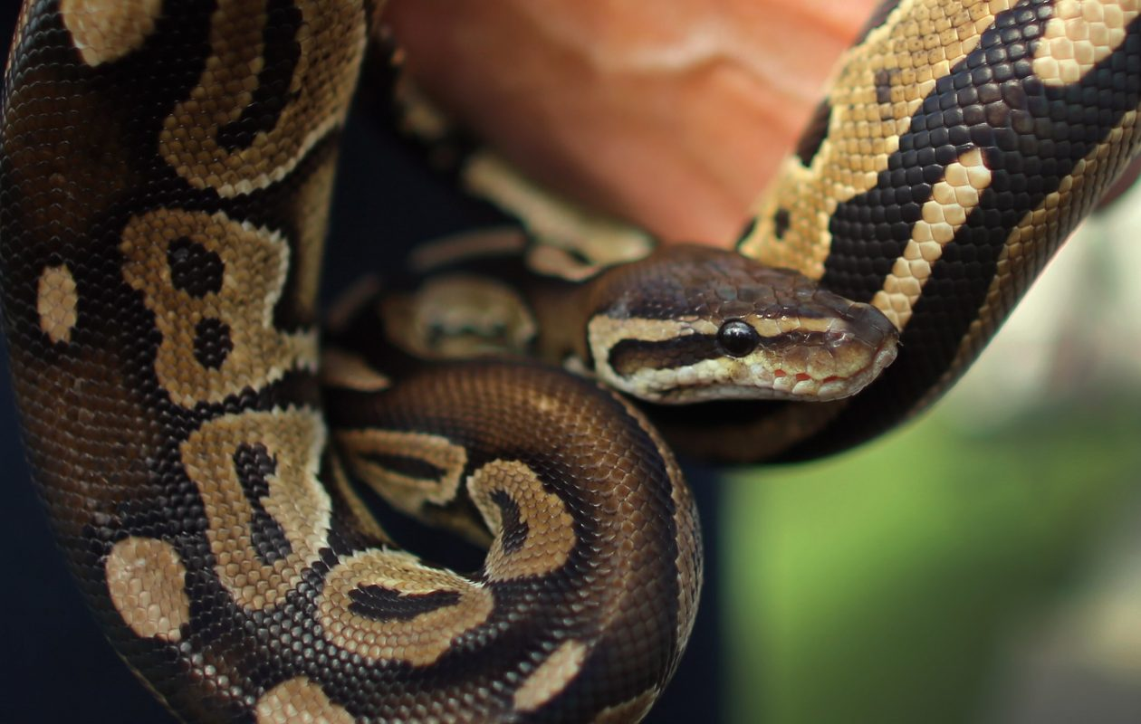 An Ontario man is accused of illegally exporting ball pythons from the U.S., among other reptiles. (Getty Images)