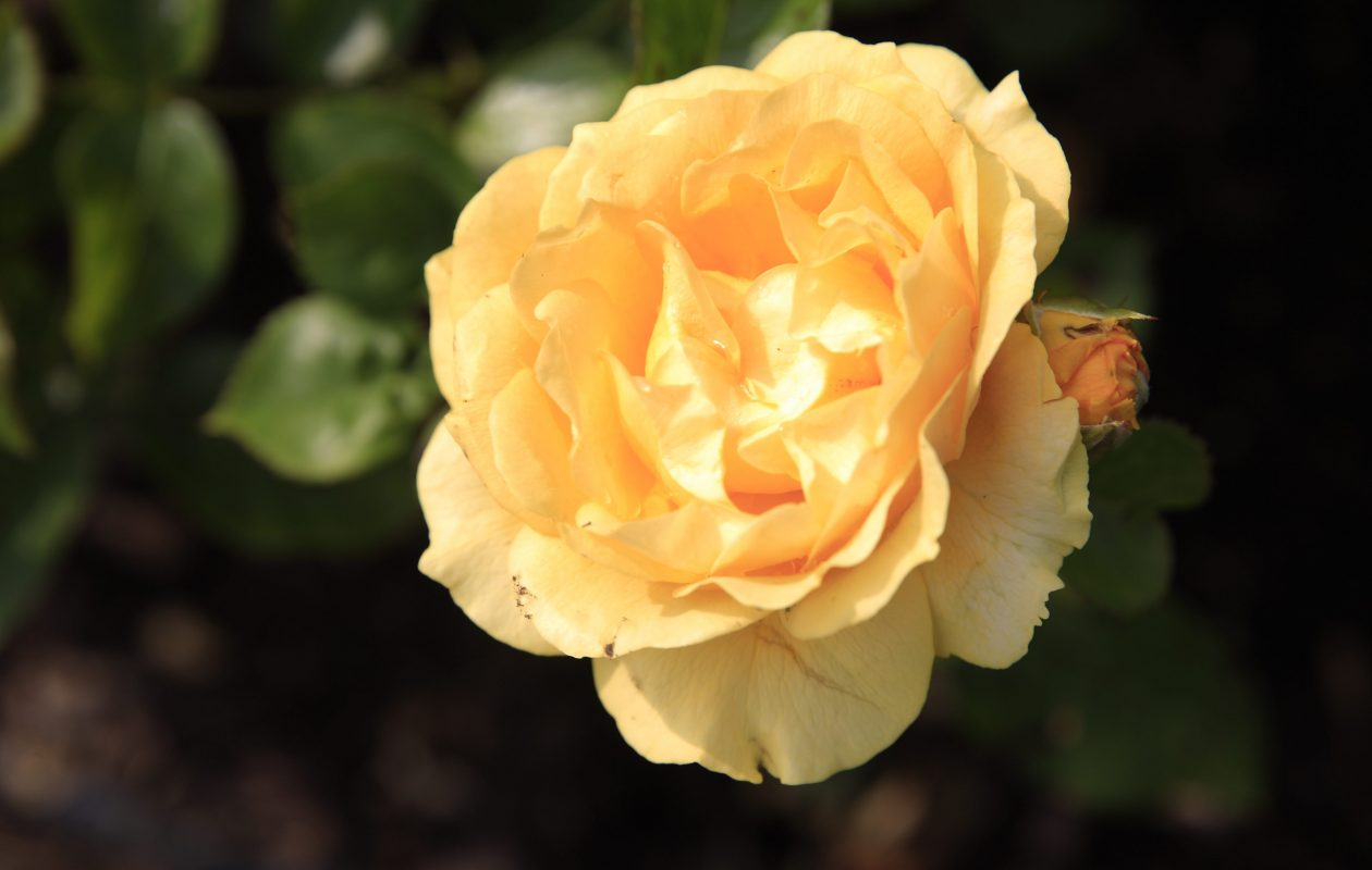 Western New York Rose Society will meet at the Delaware Park Rose Garden on Aug. 16. (John Hickey/Buffalo News file photo)