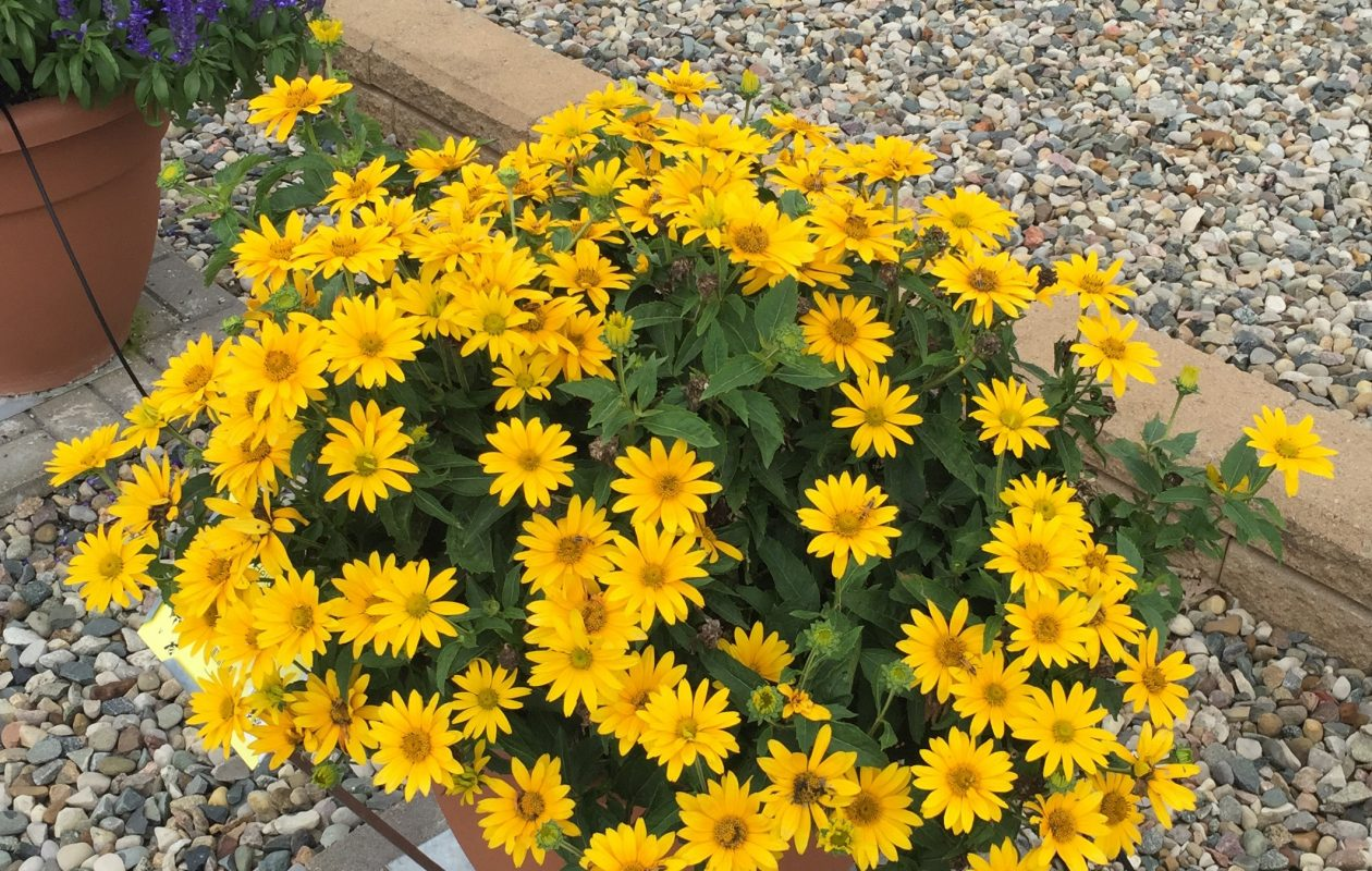 Tuscan Gold (False Sunflower), a Heliopsis hybrid. Photo courtesy Proven Winners.