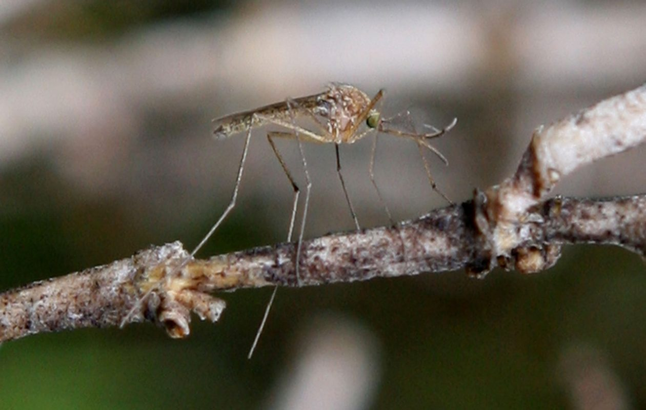 Mosquitos in Chautauqua County have been found to carry the West Nile virus.