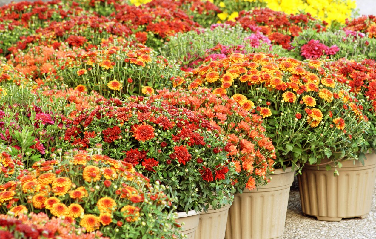 It's time to bring home some colorful mums and decorate.