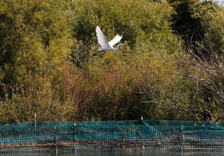 Great Egret On Prowl >> Niagara Bird Festival Takes Flight Again The Buffalo News