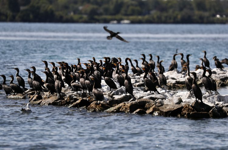 Cormorants are ubiquitous on islands in the Niagara River now,  so much so that officials said their excrement is defoliating trees along the shorelines of the Niagara River and on its islands in the United States and Canada. (Mark Mulville/Buffalo News)