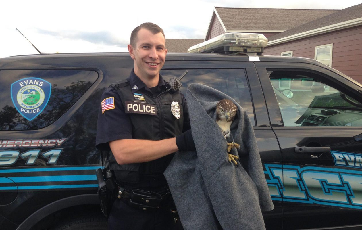 Evans Police Officer rescued an injured hawk Thursday evening after a passerby spotted it in on Route 20. (Provided by Town of Evans Police Department)