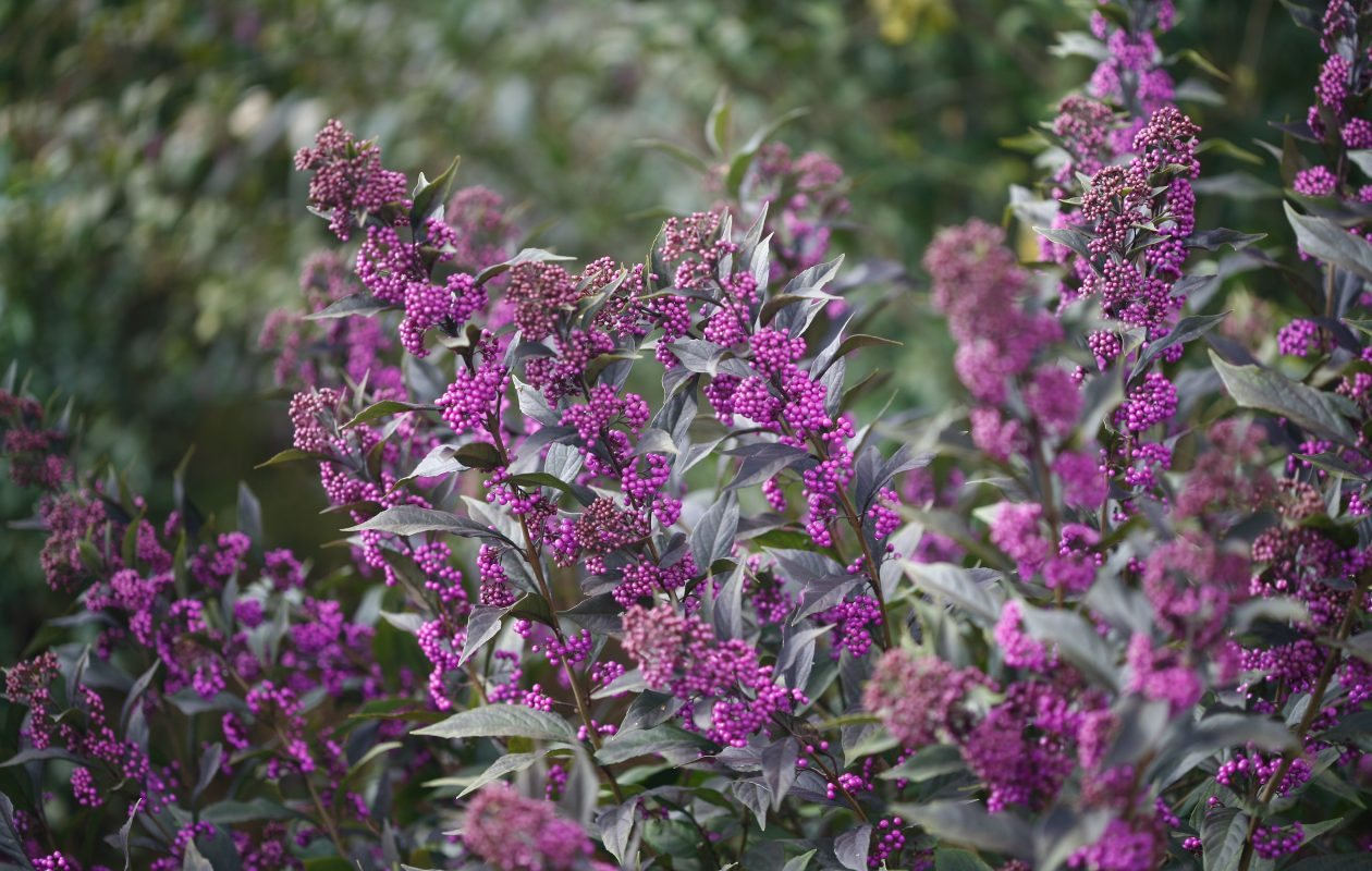 Late season plants serve pollinators and birds with nutrition for the winter. Above, a purple-berried Callicarpa (Proven Winners).