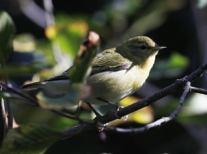 A Tennessee Warbler. (Sharon Cantillon/Buffalo News)