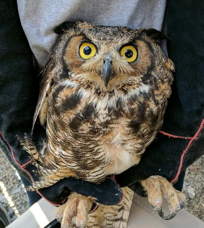 'Niles,' the great horned owl, was found last month on Grand Island. He was sick with West Nile Virus, but is now recovering at a local wildlife rehabilitation facility. (Bernadette Clabeaux)