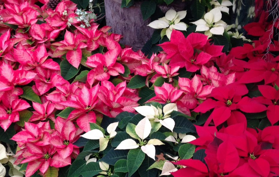 Poinsettia's are again the star of the show at the Buffalo and Erie County Botanical Gardens.