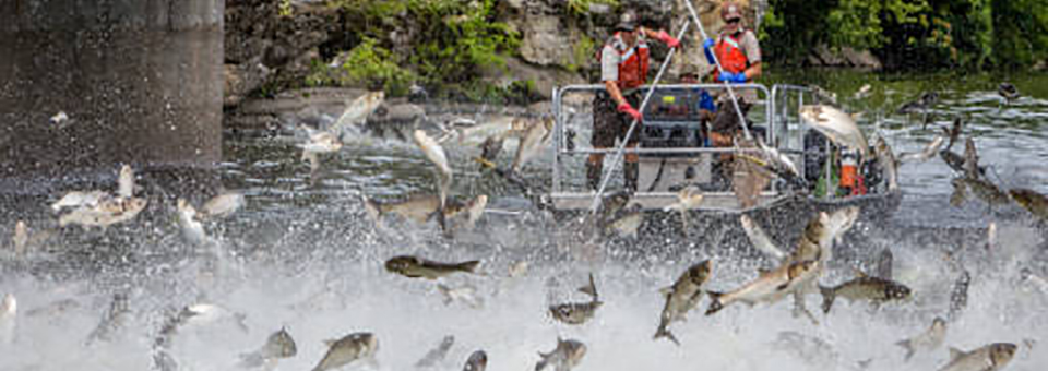 Work to keep Asian carp, like the silver carp, out of the Great Lakes continues by multiple federal and state agencies. That includes cutting off the potential connectivity with Lake Erie watersheds. (U.S. Fish and Wildlife Service)