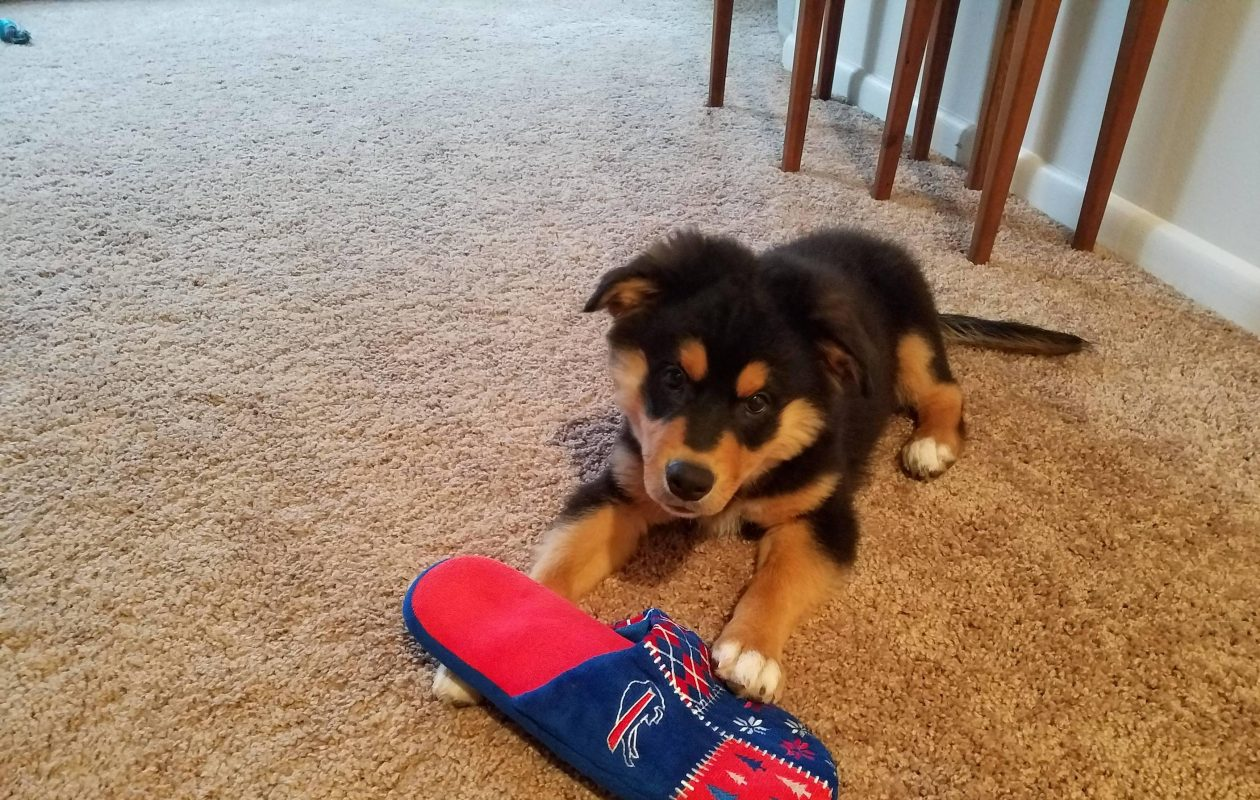 Karoo plays with a Bills slipper. (Photo courtesy of Nathan Howard)