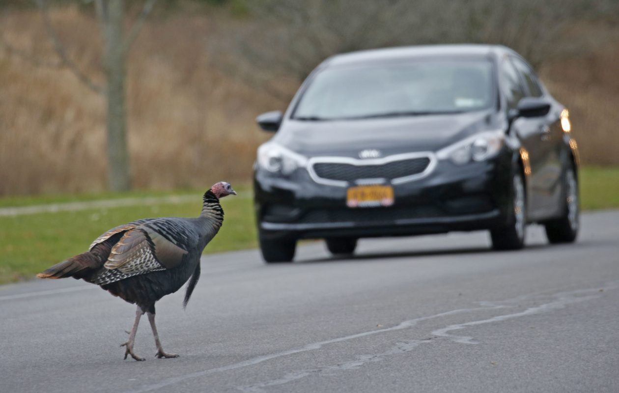 This turkey is notorious for standing in the middle of busy Klein Road traffic in Amherst .   (Robert Kirkham/Buffalo News)