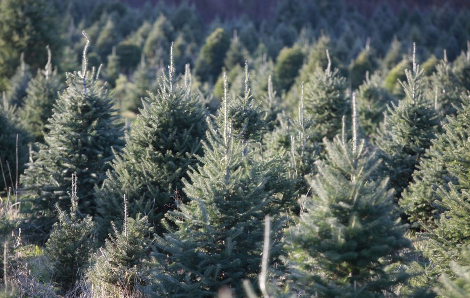 Trees will be given away on Christmas Eve in the Town of Tonawanda. (Harry Scull Jr. / News file photo)