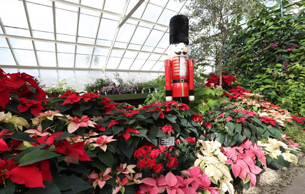 The Botanical Gardens' annual poinsettia show, 'Poinsettias: Expect the Unexpected,' runs through Jan. 7. (Sharon Cantillon/Buffalo News)