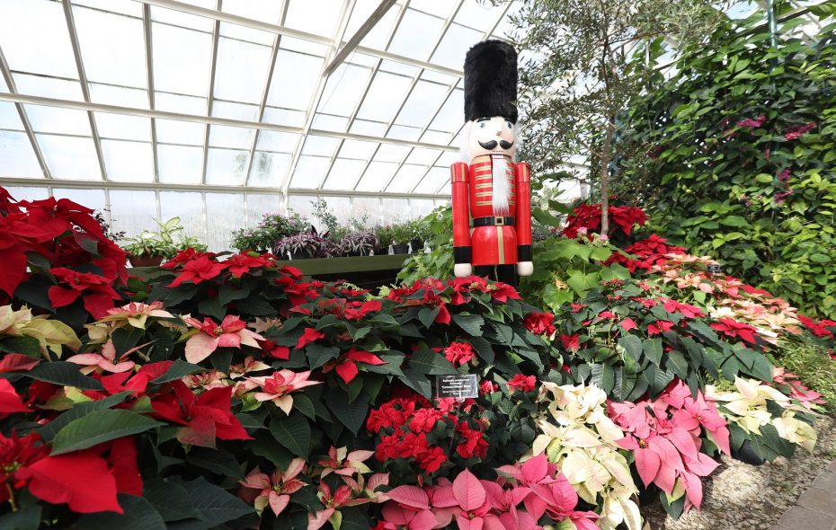 "The Botanical Gardens' annual poinsettia show, ""Poinsettias: Expect the Unexpected,"" runs through Jan. 7. (Sharon Cantillon/Buffalo News)"