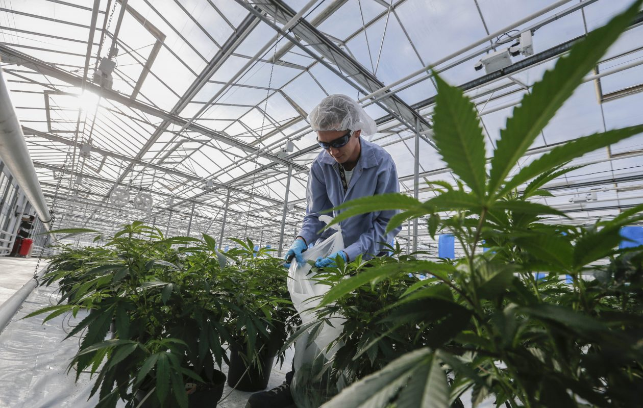A worker trims back marijuana plants to encourage even growth in a greenhouse at Tweed Farms in Niagara-on-the-Lake, Ont.  (Derek Gee/Buffalo News)