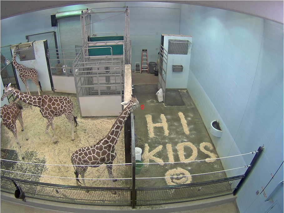 Images of giraffes at the Buffalo Zoo are captured by a video camera and streamed live into patients' rooms at Oishei Children's Hospital in Buffalo. (Photo provided by the Buffalo Zoo)