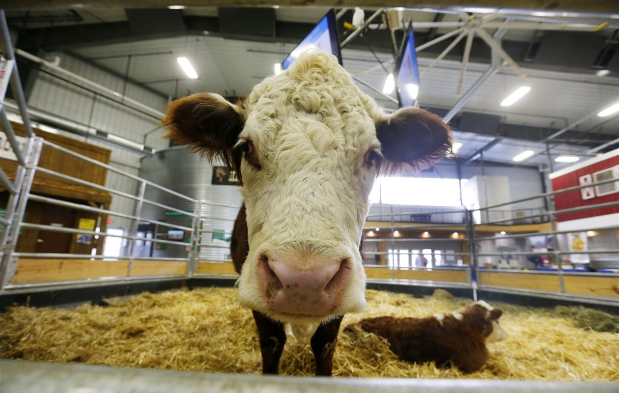 A Hereford cow and her calf were on display during the 2018 WNY Farm Show at the Fairgrounds in Hamburg. (Mark Mulville/Buffalo News)