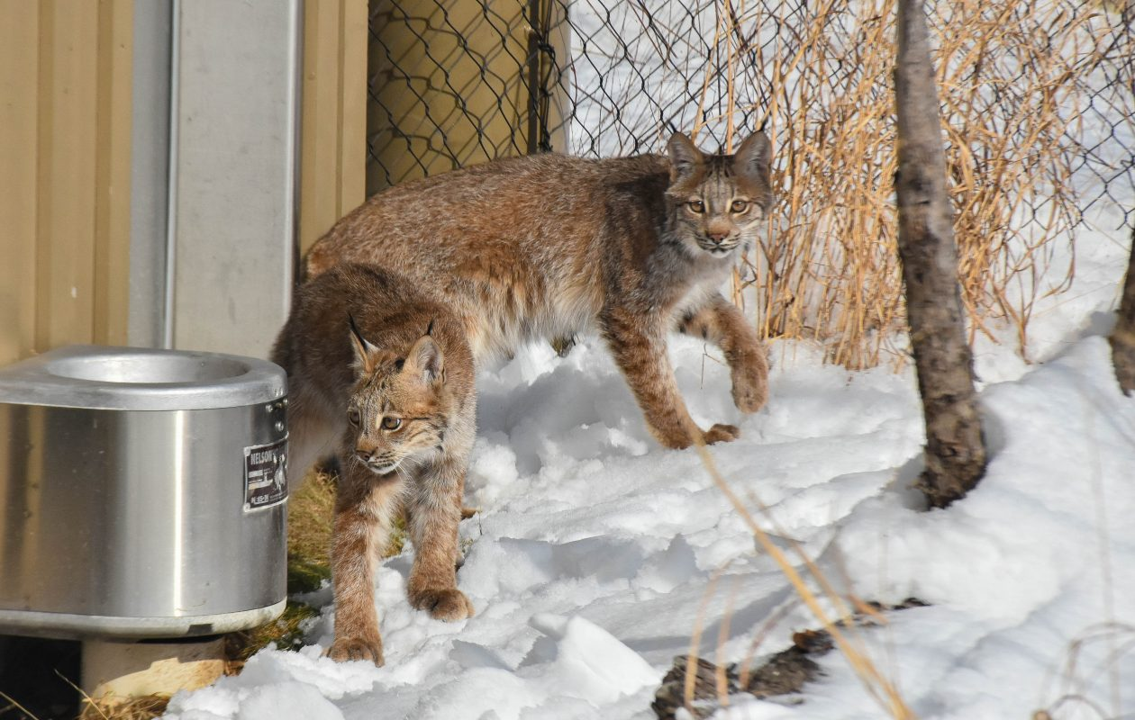 The Buffalo Zoo introduced two new Canada lynx to the public this month. (Photo courtesy Buffalo Zoo)