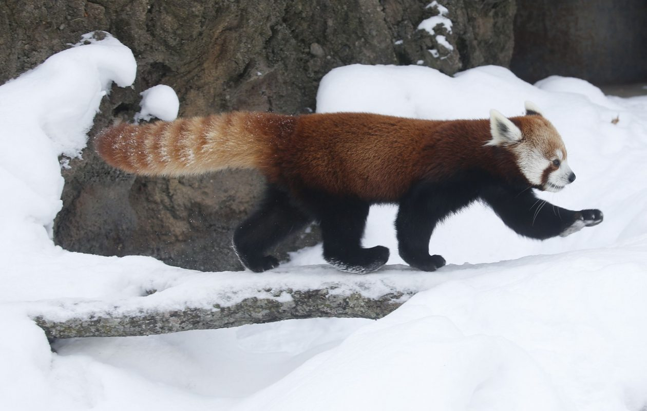 The Buffalo Zoo's red panda seems to smile in the snow. (Derek Gee/News file photo)