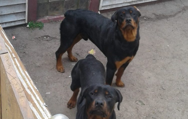 Two Rottweilers in the driveway of 228 70th St., Niagara Falls on June 7, 2017, where the dogs attacked a 7-year-old boy. (Thomas J. Prohaska/Buffalo News)