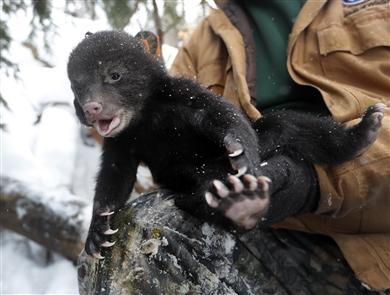 DEC biologists visit black bear den south of Olean