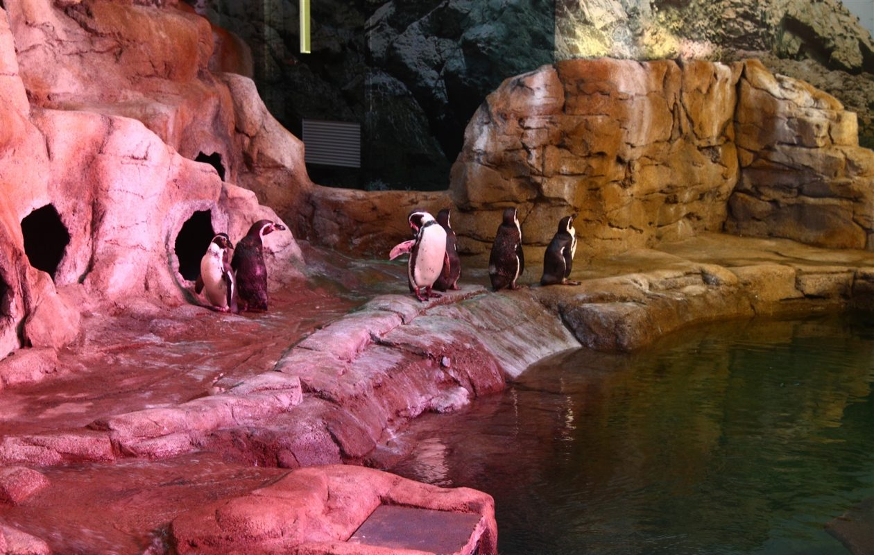 Humboldt penguins enjoy the roomy new $3.5 million habitat complete with saltwater pool at the Aquarium of Niagara. (John Hickey/Buffalo News)
