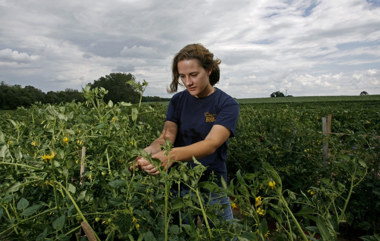 Farmer and recent graduate of Cornell University Katie Porter  checks the progress of organically grown tomatoes at Porter Farms in Elba during last growing season. (Robert Kirkham/News file photo)