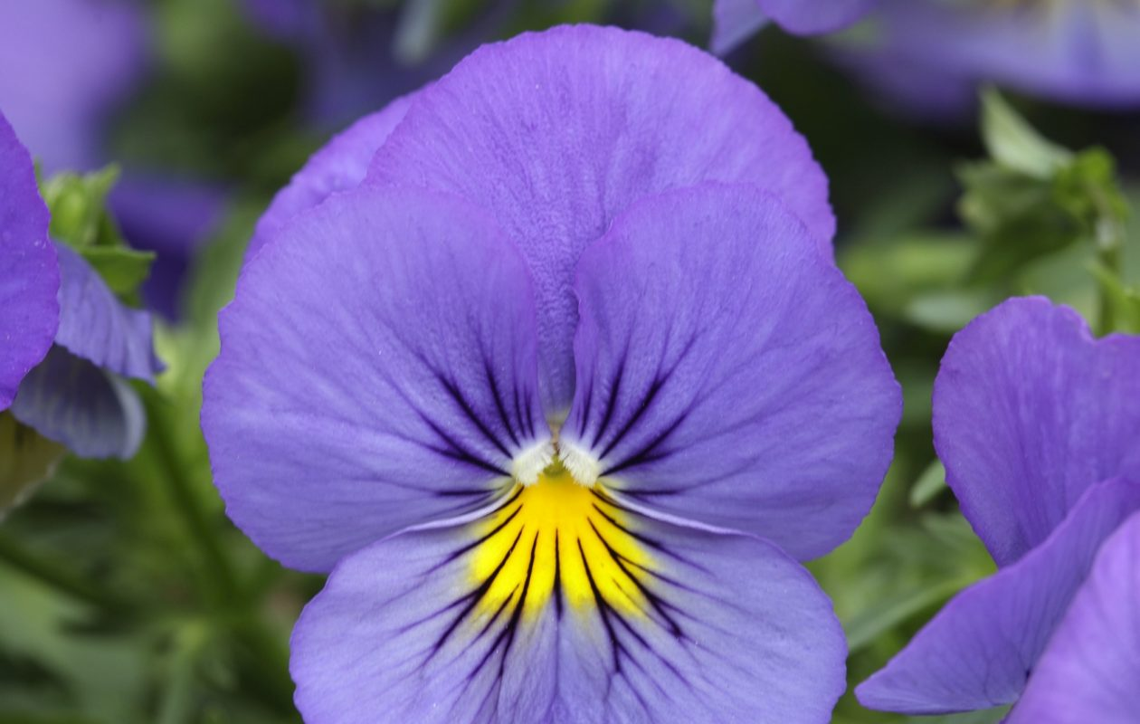Brighten things up with Cool Wave 'Blue Skies' pansies. (Photo courtesy Ball Horticultural Company)
