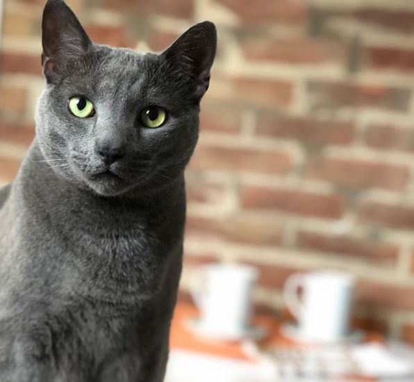 Buckminster, namesake of Buckminster's Cat Cafe, has more than 10,000 followers on Instagram. (Buckminster's Cat Cafe)
