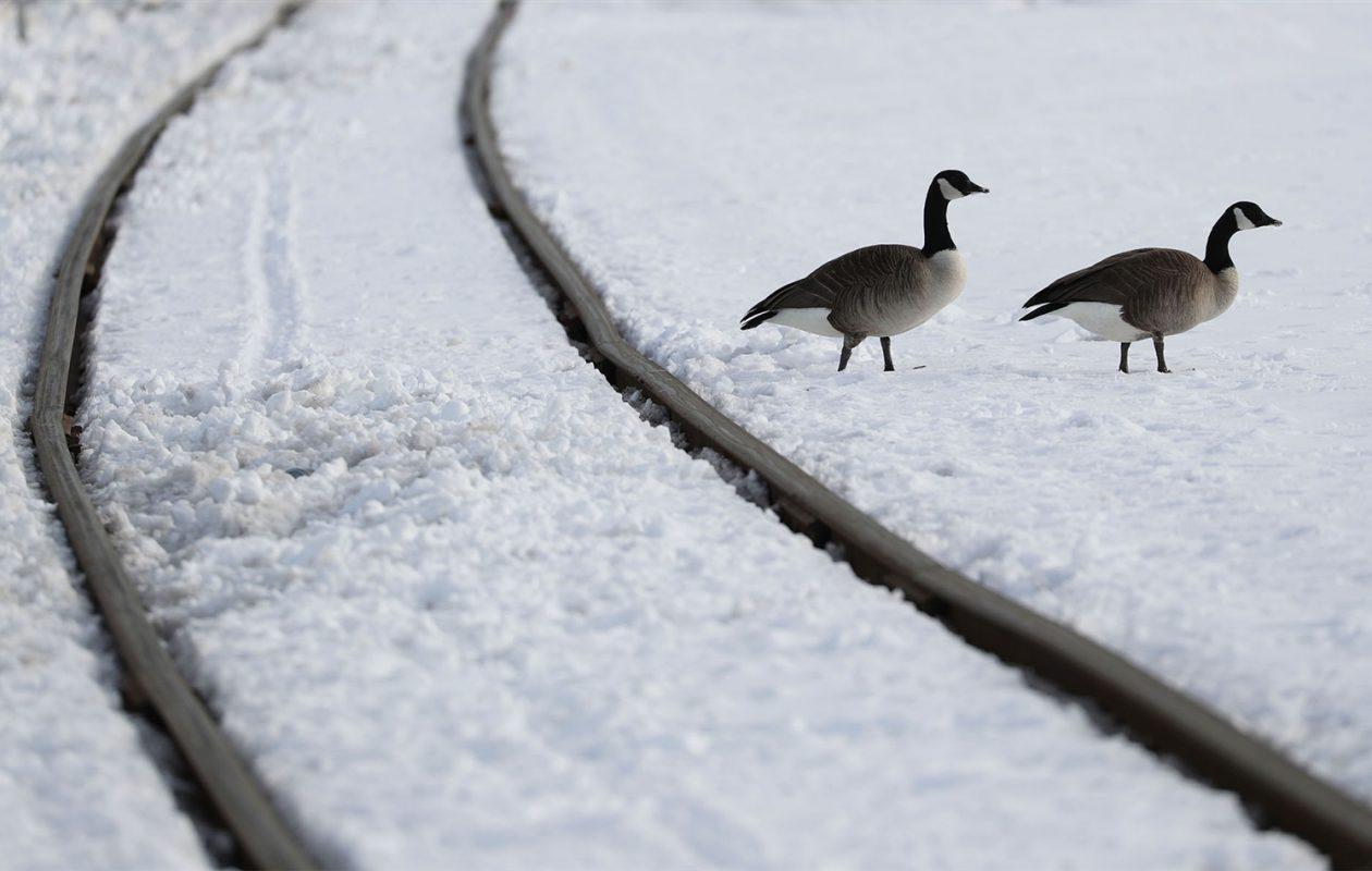 Canadian geese wander along railroad tracks recently, near Ganson Street in Buffalo. (Sharon Cantillon/The Buffalo News)