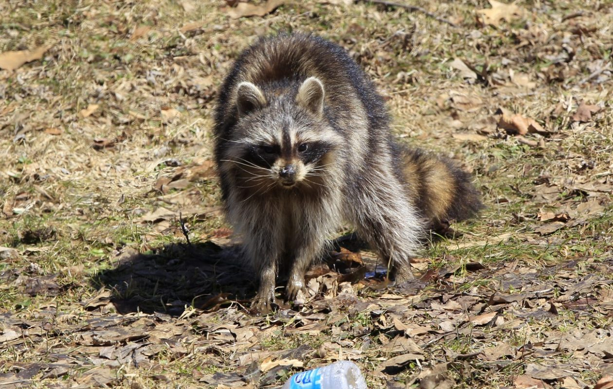Sightings of 'distempered' raccoons in Niagara County between Jan. 11 and March 13. (Harry Scull Jr./News file photo)